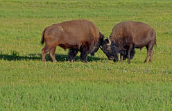 Two young bull Bison play at fighting. Royalty Free Stock Photography