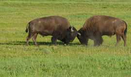 Two young bull Bison play at fighting. Royalty Free Stock Image