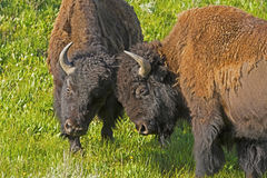 Two young bull Bison practice fighting. Stock Image