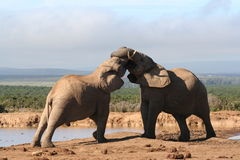 Two young Bull Elephants. Fighting Royalty Free Stock Photography