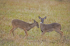 Two young Button Bucks playing together. Royalty Free Stock Images