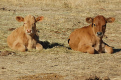 Two young calf. Lying on the grass Royalty Free Stock Images