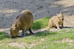 Two young capibara animals Royalty Free Stock Image