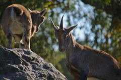 Two young capricorns. Competing for the top of a rock stock photo