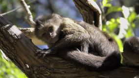 Two young Capuchin monkeys sunning. Scene of two young Capuchin monkeys sunning stock video footage
