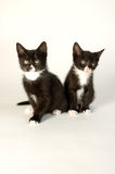 Two young cats Stock Image