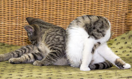 Two young cats cleaning itself. Two young cats cleaning itself in harmonie on the sofa Royalty Free Stock Image