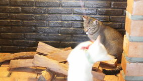 Two young cats playing toy in the smokestack display. Stock video stock footage