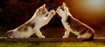 Two young cats playing on a wooden board against the light, even Stock Photography