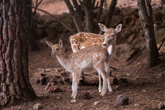 Two young Cervus Dama Deers Stock Photo