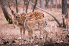 Two young Cervus Dama Deers Stock Image