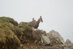 Two young chamois in fog in Tatra mountains Royalty Free Stock Photography