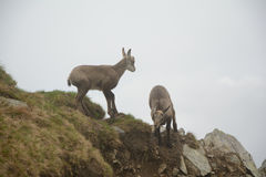Two young chamois in fog in Tatra mountains Stock Photography