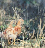 Two of young chicken standing in field Stock Image