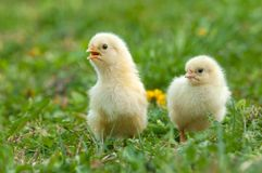 Two young chickens stock image