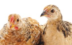 Two young chickens. On a white background stock photos