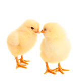 Two young chicks on white background Stock Photo