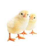 Two young chicks Stock Image