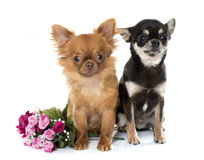 Two young chihuahua Stock Photography