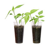 Two young chili plants. In plastic cups, isolated Royalty Free Stock Images