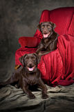 Two Young Chocolate Labs. A vertical portrait of two, one-year old chocolate labs Royalty Free Stock Images