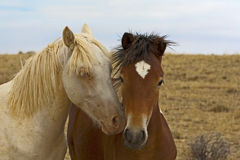 Two Young Colts Royalty Free Stock Images