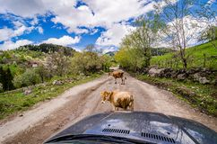 Two young cows blocking main dirt road in Georgian mountains. Asia stock photos