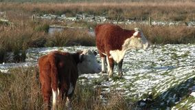 Two young cows grazing on a cold, snowy marshland near Stafford, UK stock video