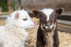 Two young and cute little lambs standing together stock photo