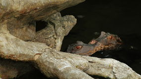 Two young Cuviers Dwarf Caiman sitting in water. Caiman almizclado stock video