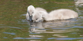 Two young cygnets foraging Stock Images