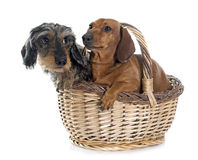 Two young dachshunds in basket Stock Photography