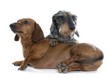 Two young dachshunds Stock Photography