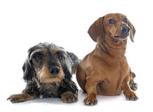 Two young dachshunds Stock Photo