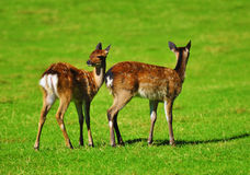 Two young deer Royalty Free Stock Images