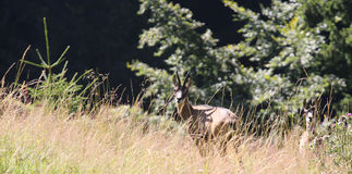 two young deer hiding in the grass mountains Alps Stock Photos