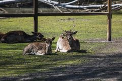 Two young deer lying in the sun royalty free stock image