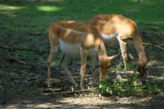 Two young deer Stock Photo