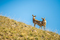 Two young deer standing top of hill Stock Photos