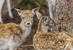 two young deer Royalty Free Stock Photos