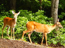 Two Young Deer. (yearlings) on the edge of the woods in North Carolina Royalty Free Stock Images