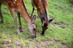 Two young deers eating on the meadow stock photos