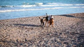 Two young dogs playing on the beach stock video footage