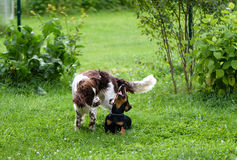 Two dogs playing rough in grass Stock Images