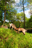 Two young domestic brown goats fighting in a farm Royalty Free Stock Image