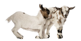 Two Young domestic goats, kids, isolated Stock Photography