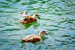 Two young ducklings are swimming in the lake. stock image