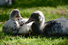 Two young ducks Royalty Free Stock Images