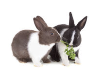Two young dwarf rabbit eating a sprig of parsley. Isolated on white background royalty free stock photos