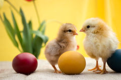 Two young Easter chicken Stock Images